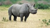 Our Rhino