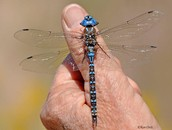Blue and black coloring along the segmented abdomen.
