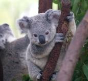 koala are cute!