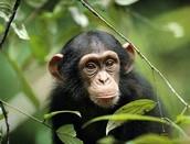 Chimpanzee: Pan troglodytes