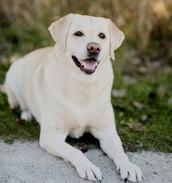 Blond Labrador Retriever