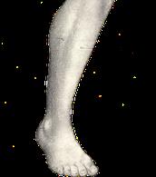 הגפיים התחתונות