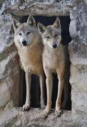 How do Tibetan Wolves mate?