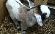 Companion Nigerian Dwarf Goat