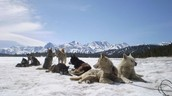 Facts About Sled Dogs