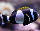 Wide band anemone fish