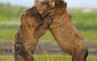 Grizzly Bears competing for a mate