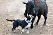 Border Collie Cow Dog