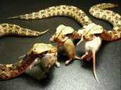 What do Gaboon Viper's eat
