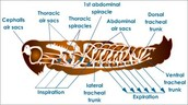 Grasshopper respiratory system