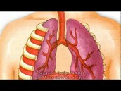 Importance Of the Respiratory System As It Relate To Immunity