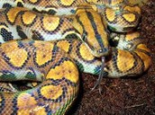 Jamaica Yellow Boa