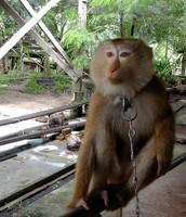 Monkeys On Leashes