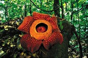The Rafflesia Flower