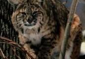 Bobcat