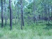 Pocosin Swamp