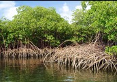 What are Mangroves