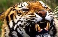 Tigers use their razor sharp teeth to rip through tough food