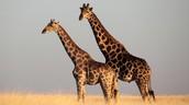 Scientific Name: Giraffa camelopardalis