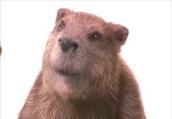Hi i'm Mr.Beaver.I like wood