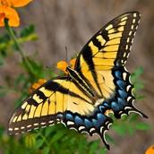 Eastern  Swallowtail Butterfly