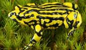 Save the Corroboree Frog!