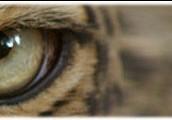 What do liger eat