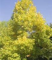 This is the Kentucky state tree