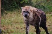 Adult Hyena