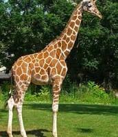 Giraffe   +
