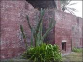 Cereus Plant