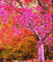 Tree Fushsia