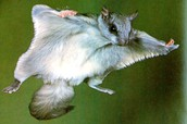 the flying squirrel can be found state wide.