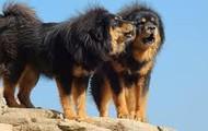 #9 Tibetan Mastiff