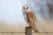 A Barn Owl sitting on a post.