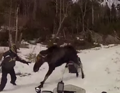 Getting Attacked by a Moose