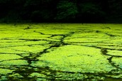 Algae into BioFuel