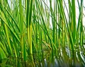 Smooth Cord Grass