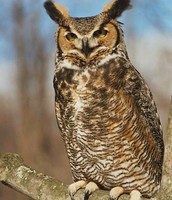 Above is a picture of the Grey-Horned Owl.