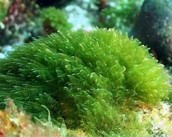 Algas verdes.