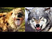 Wolves vs Hyenas