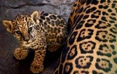 Jaguars have many personalities