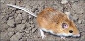 Why the habitat of  the deer mouse and how it affects the evolution of the light colored deer mouse.