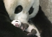 Panda and baby panda
