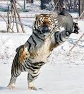 conservation for the tigers