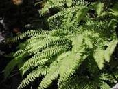 Boston fern with 55000 varieties at TN Tree Nursery farm