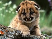 A baby mountain lion