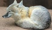 swift fox laying down