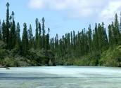 Les arbres pins