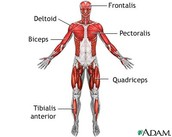 What are the functions of involuntary muscles?